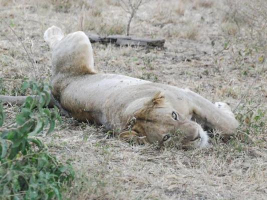 Schlafender Löwe in der Masai Mara / Serengeti