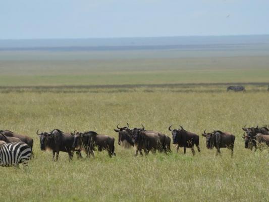 Tierherde mit Zebras und Büffeln in der Masai Mara