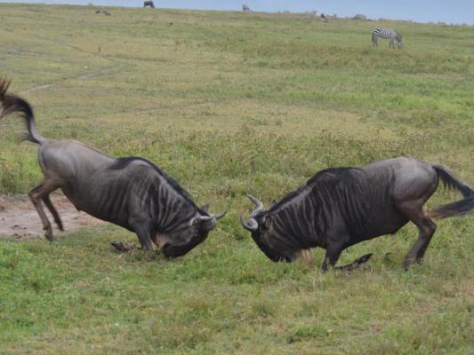 Ngorongoro Krater: Kämpfende Gnus