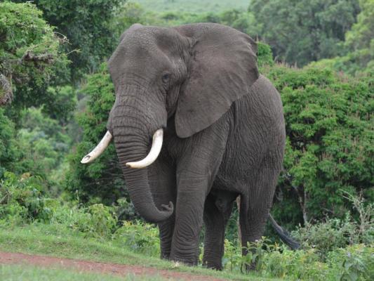 Elefantenbulle im Ngorongor Krater - Serengeti