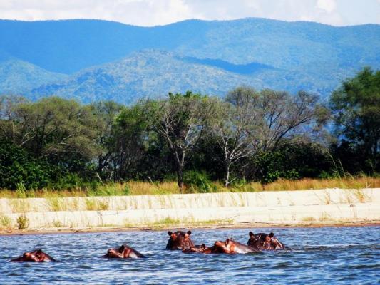 Badende Nilpferde im Zambezi Valley