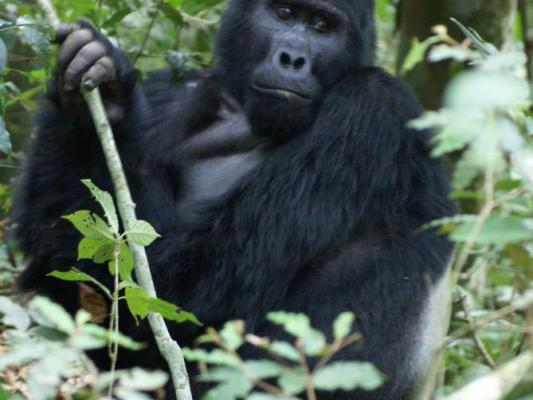 Kronenkranich mit aufgestellter Haube in freieer ugandischer Natur