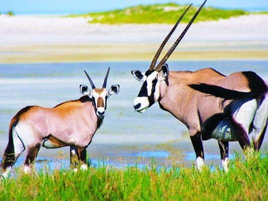 Zwei männliche Spitzböcke im Namibrand Naturreservat in Namibia