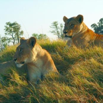 Abenteuerreisen: Afrika auf einer Abenteuerreise entdecken und unter anderem eine Safari Tour durch einen der vielen Nationalparks und Löwen in der Savanne entdecken