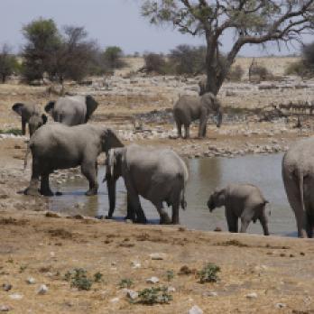 Afrika Safaris: Afrika auf einer Safari entdecken - Elefanten im Etosha Nationalpark beobachten