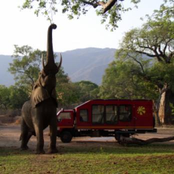 Elefant mit senkrecht gestrecktem Rücken neben dem Sunway Safari Truck