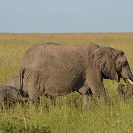 Safari in der Serengeti: Tansania & Kenia - Elefantenmutter in der Savannae mit Babyelefant im Schlepptau