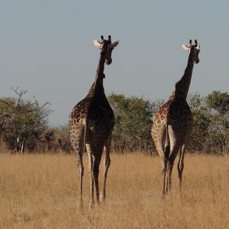 17 - tägige geführte Lodge Safari ab Windhoek bis Victoria Falls - Giraffen in Botswana