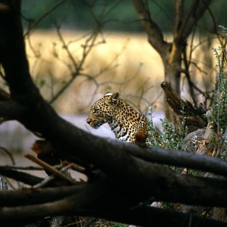 Leopard in Botswana während der geführten Camping Safari ab Victoria Falls bis Kapstadt