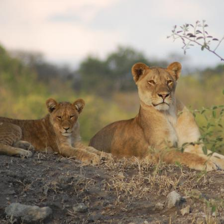 Afrika Lodge Reise ab Victoria Falls bis Windhoek - Löwen im Chobe Nationalpark